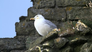 Stunning Scarborough - Seagull chillin', at Scarborough Castle
